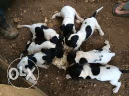 English pointer puppys