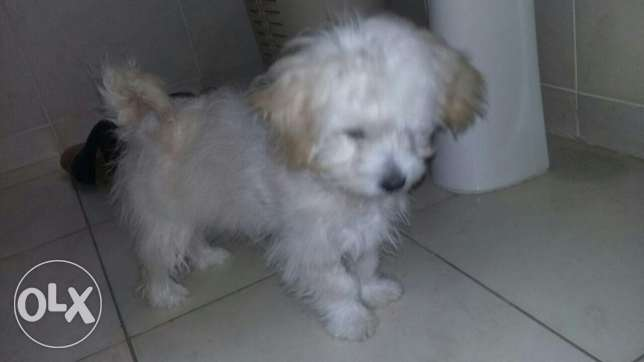 Bichon mix puppy with papers