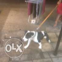 pit bull female 10 month for sale or trade