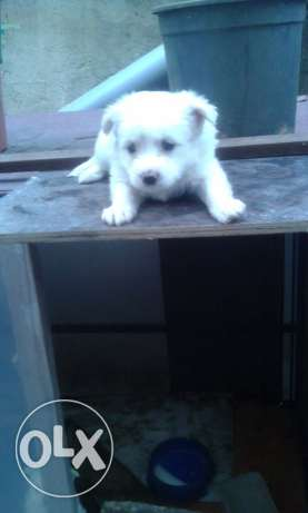 White Bichon puppies for sale ! ضبيه -  4