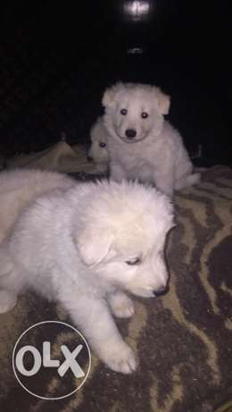Puppies suisse cheaper