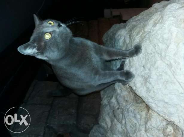 Amazing Russian blue cat for trade exchange تبادل