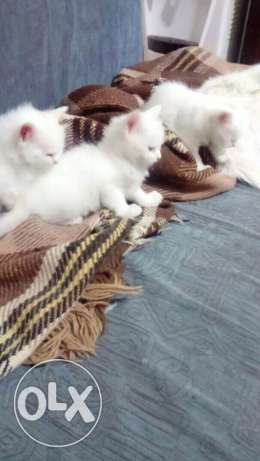 beautiful cats for sale white cats and black