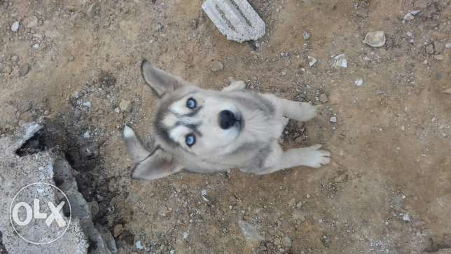 Hasky for sale