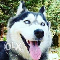 husky 1 year for sale