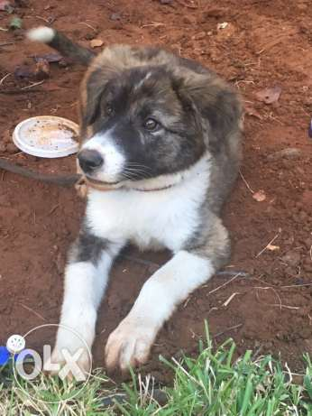akita mix sale or trade الشياح -  1