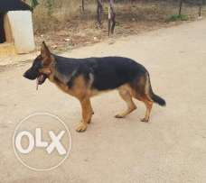 Male berger allemand for sale because of travelling