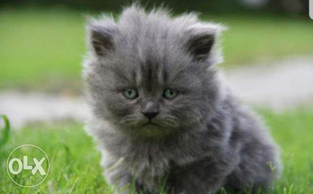 Need female pure persian grey's