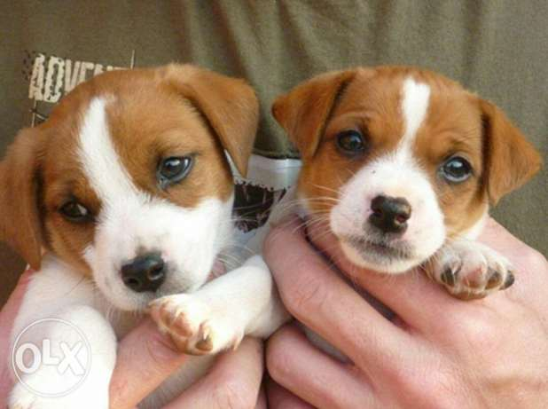 Puppies jack russel for sale
