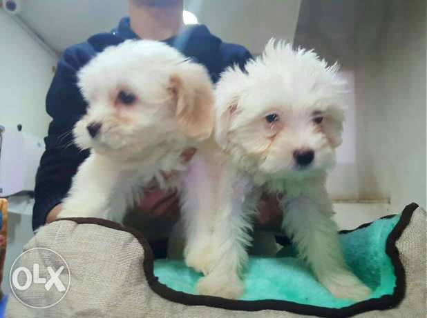Puppies bichon maltese