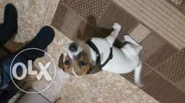Jack russel pure