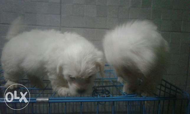 Bichon pupies سن الفيل -  2