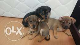 Mix loulou cooker puppies