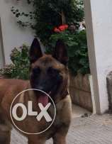 pure malinois top blood line