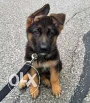 ho have like this dog and wont to sel it bi 200$