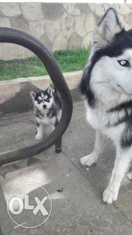 husky puppy playful