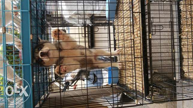 specail offer pupeis female husky 2 month for sale
