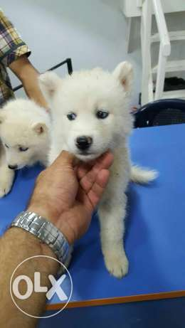 Puppies husky for sale