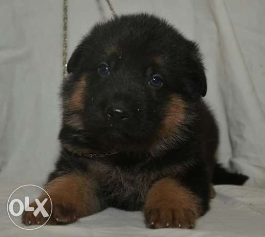 best imported german puppies