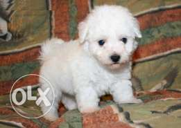 bichon puppies 50 day