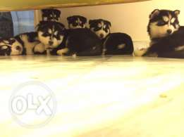 Puppies for sale !