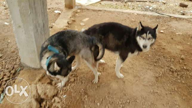 husky pupeis for sale