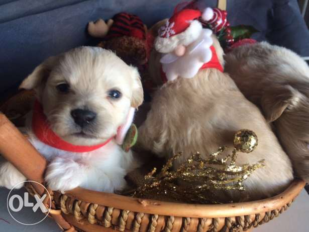 Loulou Spitz Puppies Ideal Gift for Christmas انطلياس -  1