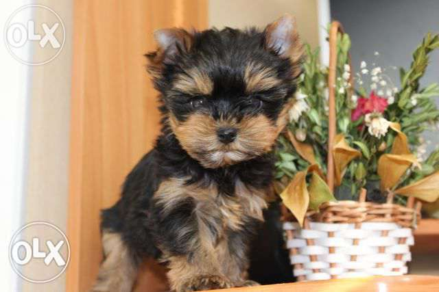 Dog of the week, Mini Mini York for only 450$.