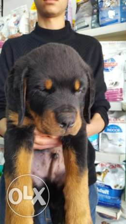 Puppies rotweiler for sale