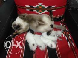 5 siamese/belinoie mix kittens for sale.