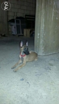 Malinois female 3 month for sale