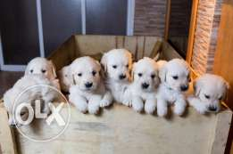 Imported Golden Retriever puppies