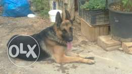 Gsd male kingsize for sale
