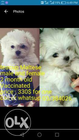 Teacup Bichon Maltese puppies