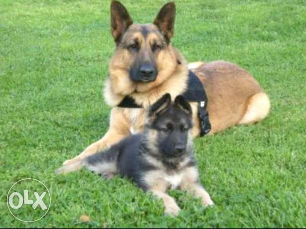Two German Shepherd (best price)