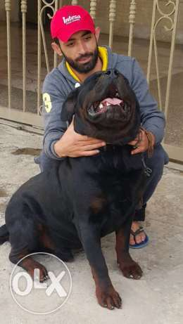 Rottweiler giant size puppy