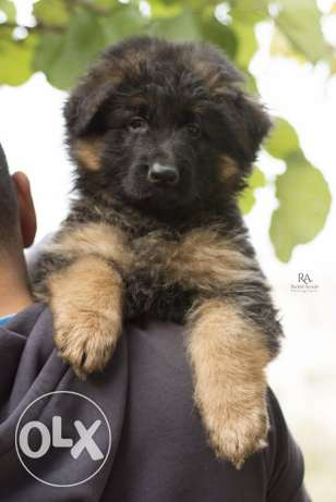 Top longhaired german shepherd for sale from multi-champion كسروان -  1