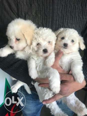 Bichon maltese puppies