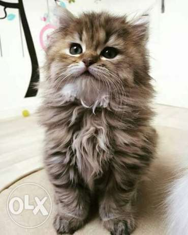 cat persian kitten