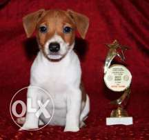 High Quality Jack Russell Male Puppy