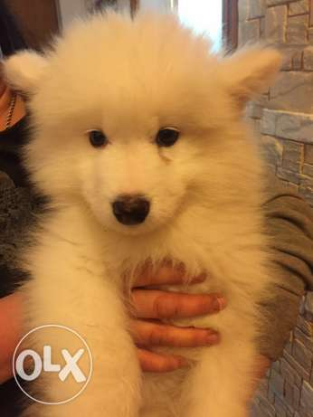 Puppies Samoyed حارة حريك -  8