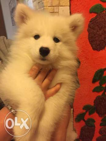 Puppies Samoyed حارة حريك -  4