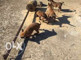 Pedigree Malinois Puppies for Sale