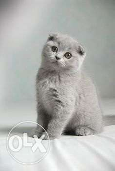Scottish fold kittens راس  بيروت -  1