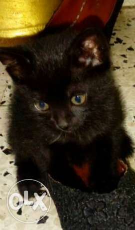 A black kitty for sale