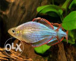 Dwarf rainbow fish