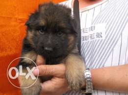 Imported German shepherd puppies