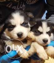 pure husky puppies 50 days for sale
