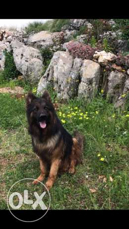 top gsd male long hair for sale