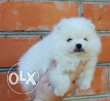Two Top Class Pomeranian Puppies Available